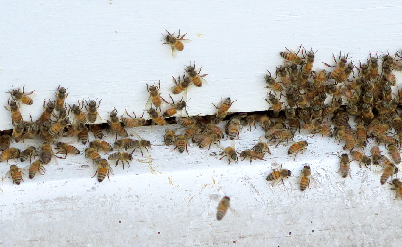 Honeybees swarm their hive at Bloomington Community Orchard. | Limestone Post