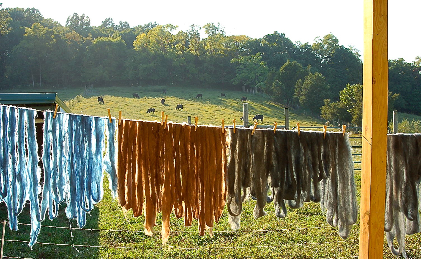Plant-dyed wool dries on the sheep deck while the Marble Hill Farm cattle enjoy their evening graze. | Photo by Samuel Welsch Sveen