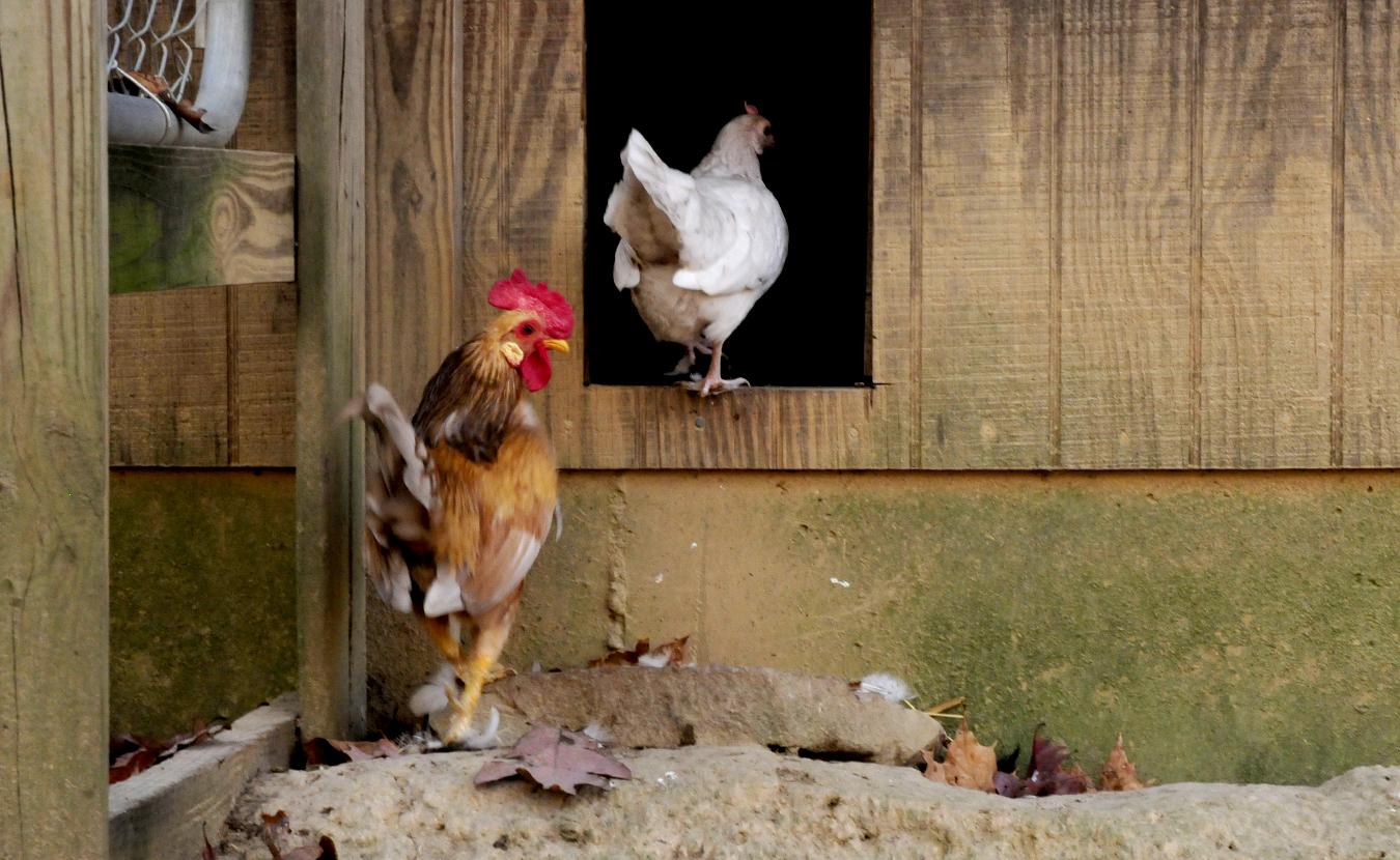 A decade ago, John built a coop in Brown County and moved his city chickens to the country. Since then, local chicken keepers won their right to raise backyard chickens within Bloomington city limits. | Photo by Ann Georgescu