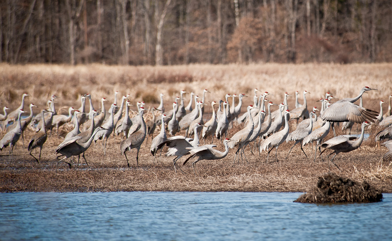 The stars of the 7th Annual Marsh Madness Sandhill Crane Festival at Goose Pond Fish and Wildlife Area in Greene County. Tens of thousands have already been spotted in the area. | Photo by Thomas Marriage