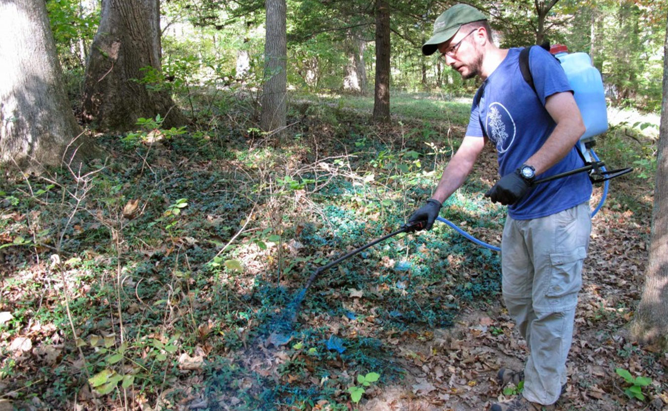 John Lawrence, the assistant director of Sycamore Land Trust, sprays a patch of vinca near the Sycamore headquarters with herbicide. | Photo by Annie Corrigan, WFIU