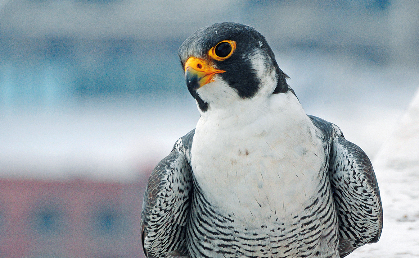 """Peregrine Falcons in America have soared back from the brink of extinction since the 1960s, even in Indiana. Just as humans caused their decline, """"it was also dedicated humans who brought these birds back,"""" writes Jared Posey. This """"standout conservation success story"""" is unusual because peregrines """"may be benefiting from an increasingly urban landscape,"""" such as Kinney, pictured here in Indianapolis. 