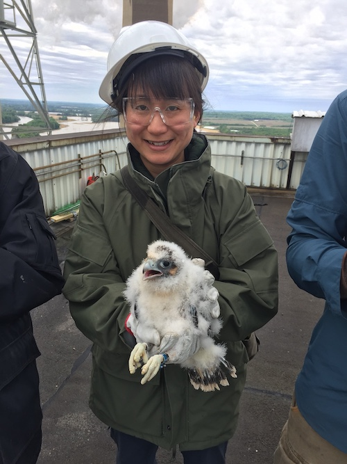 Allisyn-Marie Gillet, an ornithologist with the Indiana Department of Natural Resources, holds a recently banded peregrine falcon chick. 'The installation of the [Motus] towers is important because they are a function of researchers doing work on migratory species like birds and bats,' Gillet says.   Photo by the Indiana Department of Natural Resources
