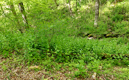 Garlic mustard blankets the valley in Mammoth Cave National Park in Kentucky. While its petite white flowers might be nice to look at, the invasive plant kills soil fungus that native plants rely on; garlic mustard even poisons caterpillars of the West Virginia white butterfly. | Photo by Sean Chung